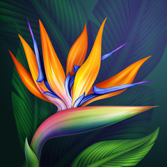 Plakat strelitzia bird of paradise flower botanical illustration