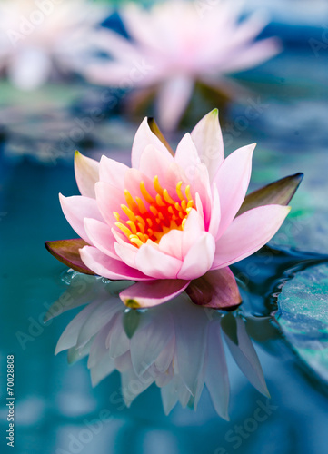 Garden Poster Lotus flower beautiful pink waterlily or lotus flower in pond