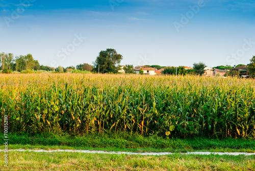 Paesaggio Di Campagna Campo Di Granoturco Mais Estate Buy This