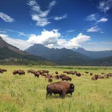 Bisons - Yellowstone National ...