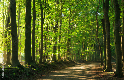 Late summer morning at a lane in the forrest. Wallpaper Mural