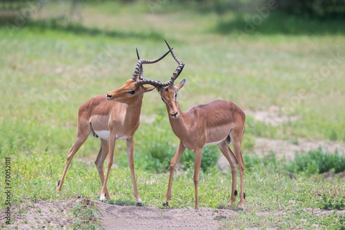 Poster Antilope Two male impala fight in for the herd with best territory
