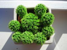 Desert Gem Cactus
