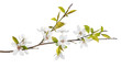canvas print picture - spring tree branch with light flowers