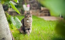 Gray Domestic Cat Walking On Green Grass