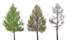 Three Larch Stage Isolated On ...