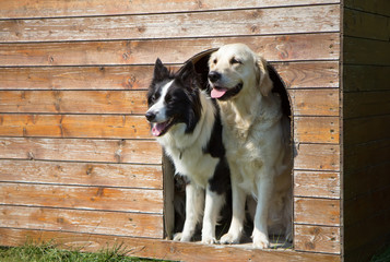 Border collie and Golden Retriever at doghouse