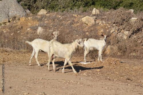 Poster Lama Goats