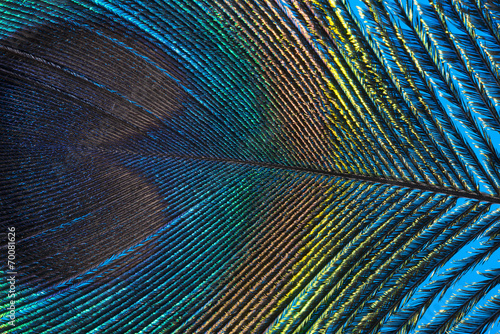 Photo sur Aluminium Paon peacock feather close up