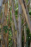 Bambusy z liściami w tle