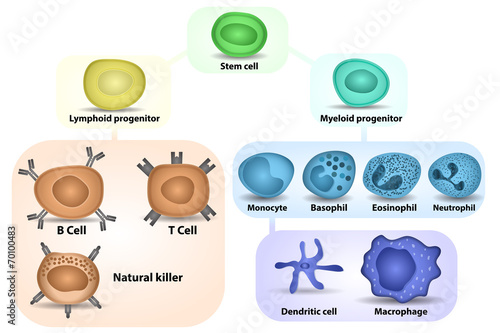 Fotografie, Obraz  White Blood cell formation