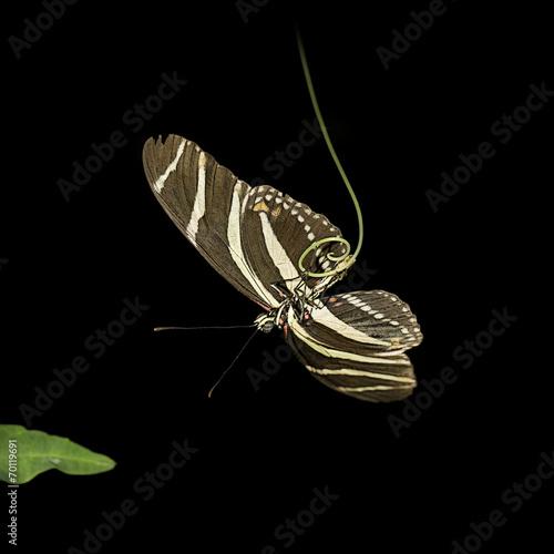 Foto auf Leinwand Schmetterling Passiebloemvlinder