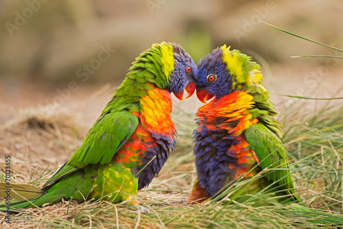 Photo sur Toile Perroquets Rainbow lorikeets (Trichoglossus haematodus) fighting