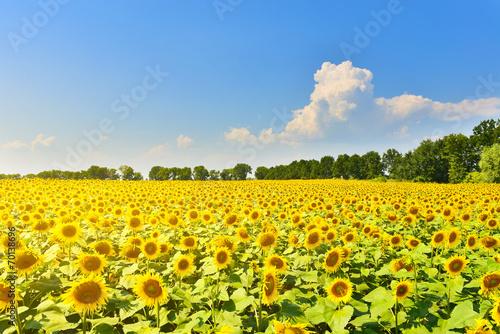 Poster Jaune Sunflower field