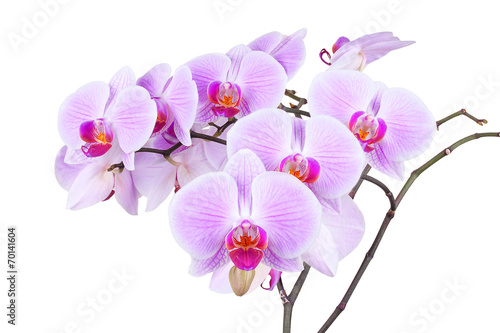 Fototapeta Pink orchid isolated on a white backfround obraz na płótnie