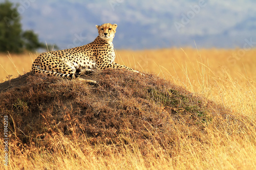Staande foto Afrika Cheetah on the Masai Mara in Africa