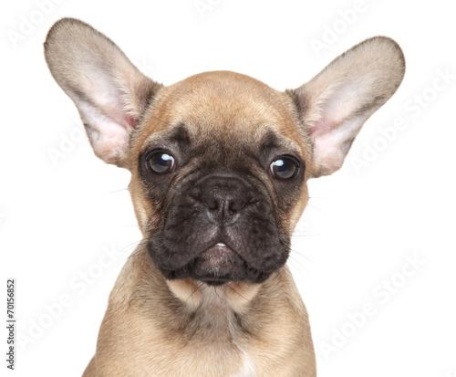 Deurstickers Franse bulldog French Bulldog puppy close-up