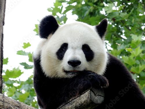 Fotobehang Panda Panda Géant 7