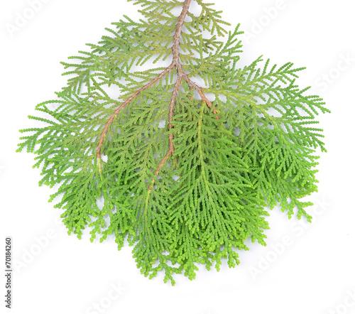 Leaves Of Pine Tree Or Oriental Arborvitae Scientific Name Thu