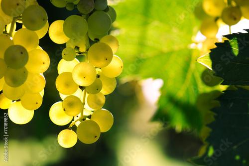 Fotografia, Obraz  ripe grape