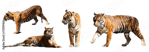 Papiers peints Tigre set of tigers over white background