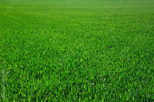 Photo sur Toile Herbe green grass