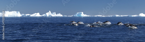 Penguin diving near the icebergs (Antarctica)