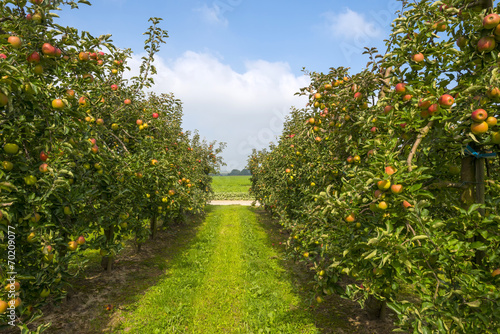 Fotografija  Orchard with fruit trees in a field in summer