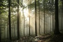Autumn Deciduous Forest In Fog...