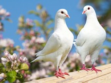 Two White Pigeon On Flowering ...