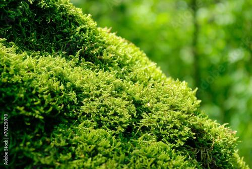 pien-starego-drzewa-gesto-pokryte-mchem