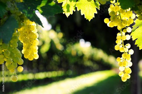 Photo sur Aluminium Vignoble ripe grape