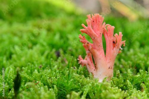 Fotografie, Obraz  ramaria botrytis