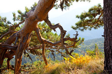 Conifer With Sinuous Branches And Roots. Southern Landscape