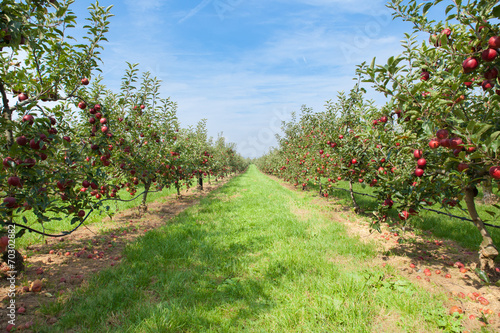 Cuadros en Lienzo apple trees loaded with apples in an orchard in summer
