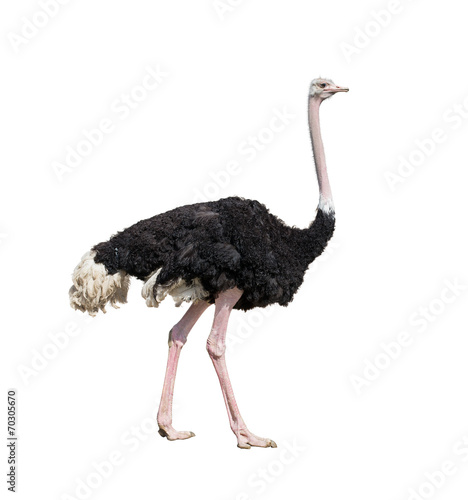 La pose en embrasure Autruche ostrich full length isolated on white