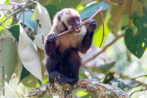 Capuchin Monkey Chewing on a Stick Canvas Print