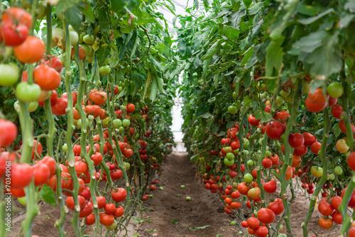 pomidory-dojrzewajace-w-szklarni-ukraina