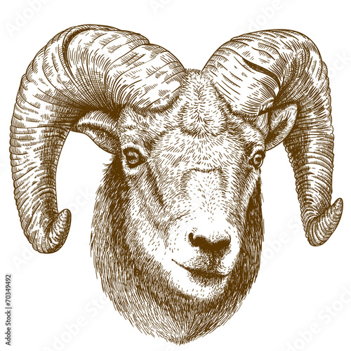 Fotografie, Obraz  vector illustration of engraving ram head