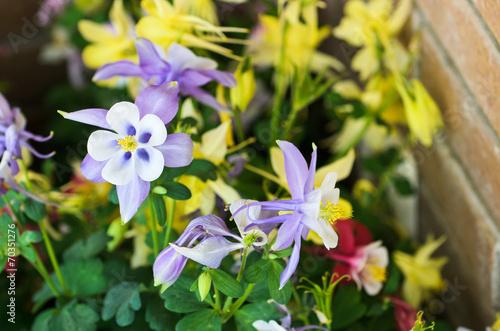 Fotografia Columbine Flower