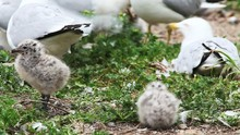 Two Ring-billed Gull Young Wit...