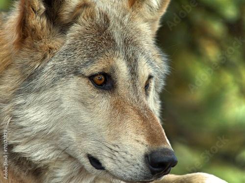 Lakota Wolf 11 плакат