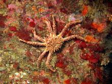 King Crab, Barents Sea