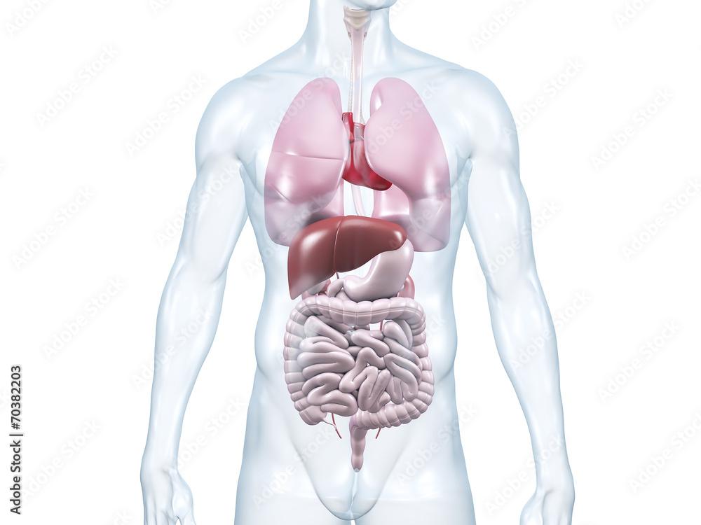 Innere Organe: anatomische 3D-Illustration Foto, Poster, Wandbilder ...
