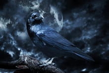 Black Raven In Moonlight Perch...