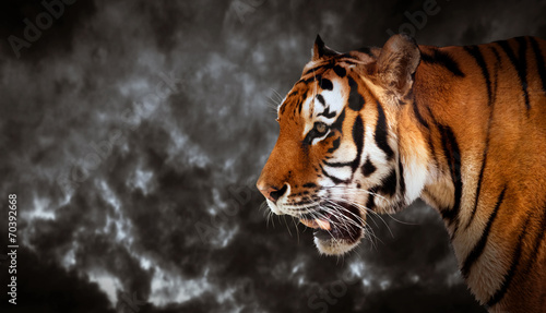 Foto auf AluDibond Tiger Wild tiger looking, ready to hunt, side view. Cloudy sky