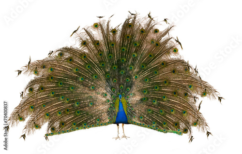 Foto op Plexiglas Pauw Indian Peafowl