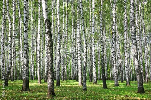 Photo sur Aluminium Bosquet de bouleaux Autumn Birches with sun rays