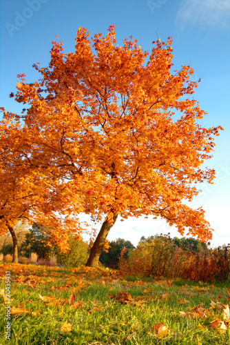 Aluminium Prints Autumn Beautiful autumn tree with fallen dry leaves