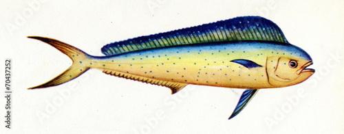 Fototapeta  Common dolphinfish (Coryphaena hippurus)
